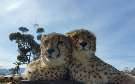 Billabong-Zoos-new-cheetahs.jpg#asset:27