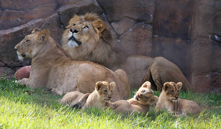 New Lion Cubs Zoraya Nuru And Kiros With Mum And Dad By Amanda Andrews