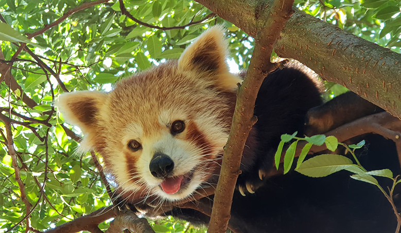 Red Panda Being Cheeky @ Billabong Zoo