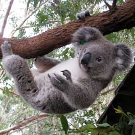 William Krystal Just Hanging Around At The Koala Hospital