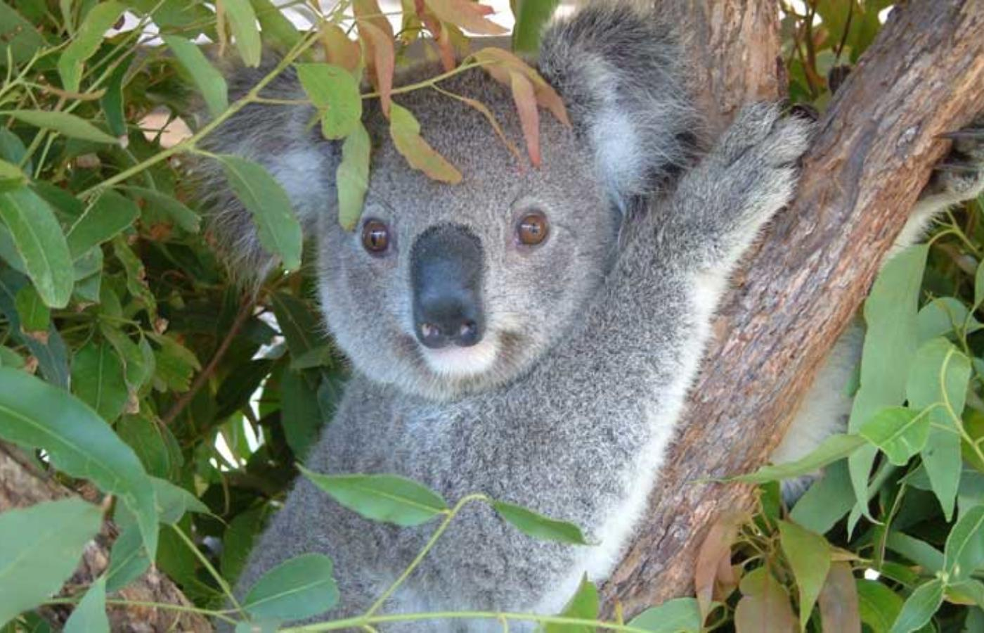 Koala Recouperating A The Koala Hospital