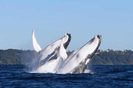 Syncronised Whales