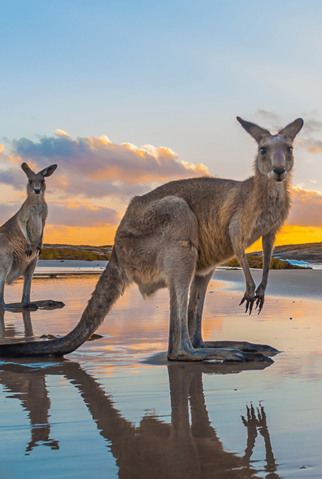 Sunrise With Kangaroos At Diamond Head Mobile By Matt Cramer